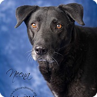 Adopt A Pet :: Neena - Burbank, CA