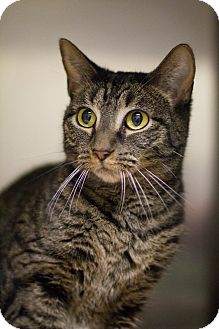 Domestic Shorthair Cat for adoption in Grayslake, Illinois - Oberon