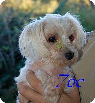Maltese Dog for adoption in High Point, North Carolina - Zoe (GA)