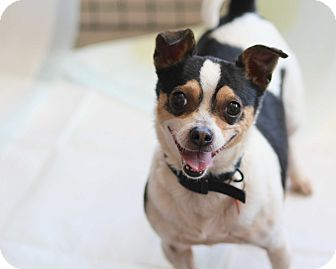 Jack Russell Terrier/Chihuahua Mix Dog for adoption in Los Angeles, California - Bruno