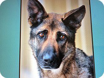 German Shepherd Dog Dog for adoption in Los Angeles, California - FRIDA. (Killo)VON KREFELD
