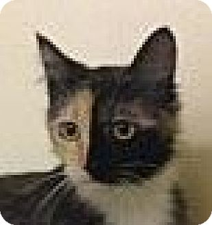 Domestic Mediumhair Cat for adoption in Winchester, California - Athena