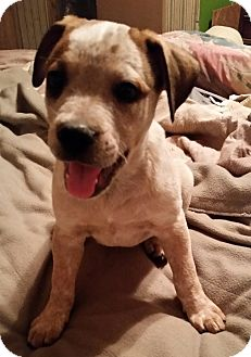 Australian Cattle Dog Mix Puppy for adoption in Tucson, Arizona - Daisy