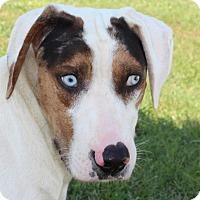 Adopt A Pet :: Bogle - Harmony, Glocester, RI