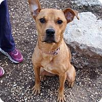Adopt A Pet :: Shay - Philadelphia, PA