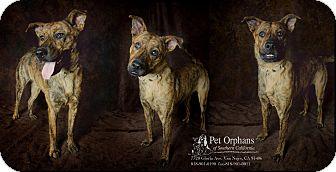 Dutch Shepherd Dog for adoption in Van Nuys, California - Tigger