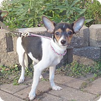 Rat Terrier Mix Puppy for adoption in West Chicago, Illinois - Limette