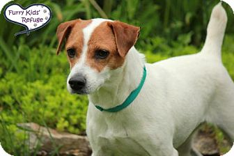 Jack Russell Terrier Mix Dog for adoption in Lee's Summit, Missouri - Lily