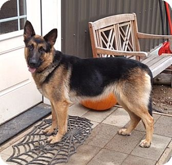 German Shepherd Dog Dog for adoption in Woodinville, Washington - Easton