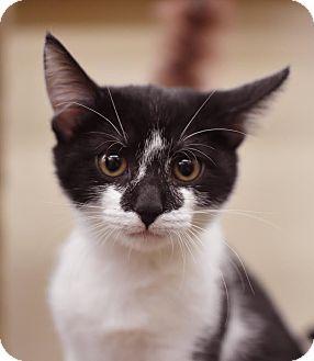 Domestic Shorthair Kitten for adoption in Summerville, South Carolina - Batman