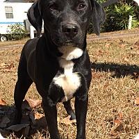Adopt A Pet :: Braxton - Tower City, PA