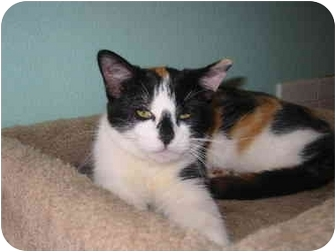 Calico Kitten for adoption in Amarillo, Texas - Bozo