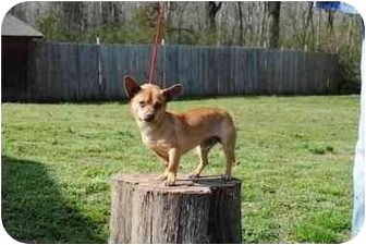 Chihuahua Mix Dog for adoption in Hagerstown, Maryland - Quinn