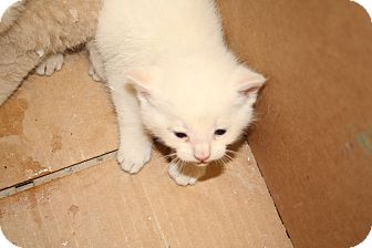 Domestic Shorthair Kitten for adoption in Washington Terrace, Utah - Sinbad