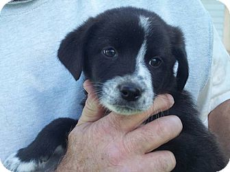 Border Collie/Australian Cattle Dog Mix Puppy for adoption in Germantown, Maryland - Bosley