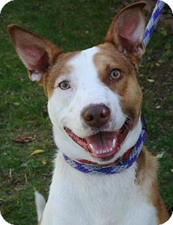 Border Collie/Australian Cattle Dog Mix Dog for adoption in Red Bluff, California - Polaris-URGENT