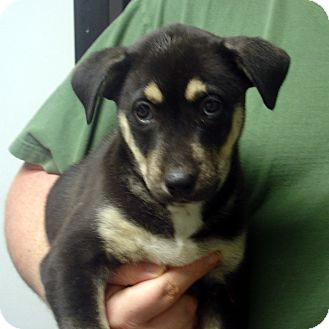 German Shepherd Dog/Husky Mix Puppy for adoption in baltimore, Maryland - Hugo