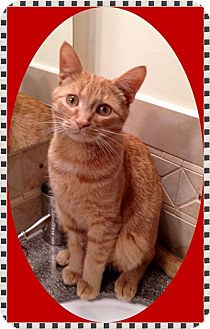 Domestic Shorthair Cat for adoption in Mt. Prospect, Illinois - Simba