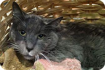 Domestic Shorthair Cat for adoption in Elyria, Ohio - Tony