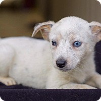 Adopt A Pet :: Blondie (pom js) - Washington, DC