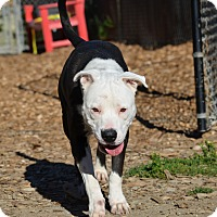 Adopt A Pet :: Karma - Seattle, WA
