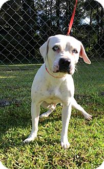 American Staffordshire Terrier Mix Dog for adoption in Savannah, Georgia - Icest
