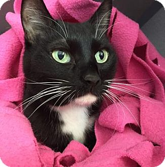 Domestic Shorthair Cat for adoption in Fort Collins, Colorado - Maggie Mae