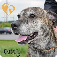Boxer Mix Dog for adoption in Newport, Kentucky - Casey
