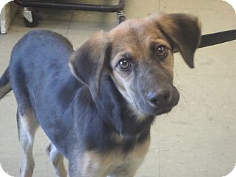German Shepherd Dog Mix Puppy for adoption in Cleveland, Mississippi - FAITH