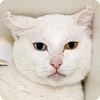 Domestic Shorthair Cat for adoption in Prescott, Arizona - Pablo