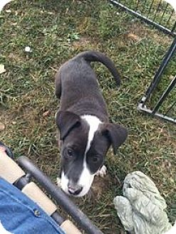 Border Collie/Australian Shepherd Mix Puppy for adoption in Urbana, Ohio - Lil