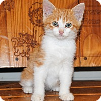 Adopt A Pet :: Marmalade - Parsons, KS