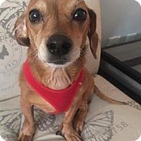 Adopt A Pet :: Baloo-ADOPTED - Livonia, MI