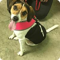 Adopt A Pet :: Lilly - Estherville, IA