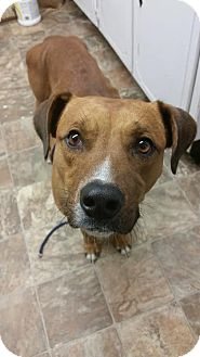 Labrador Retriever Mix Dog for adoption in Darlington, South Carolina - Atticus