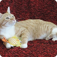 Adopt A Pet :: SUNKIST - LAP KITTY - Plano, TX