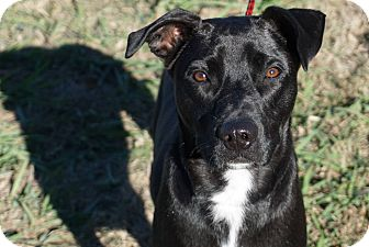 Blue Lacy/Texas Lacy/Pit Bull Terrier Mix Puppy for adoption in Aubrey, Texas - Huckleberry