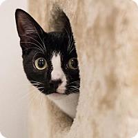 Adopt A Pet :: Socks - St. Paul, MN