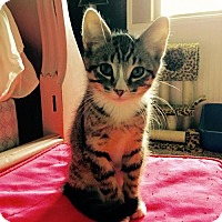 Adopt A Pet :: Thor - Chandler, AZ