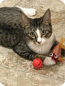 Domestic Shorthair Cat for adoption in Titusville, Florida - Benny
