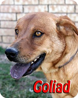 Labrador Retriever/Chow Chow Mix Dog for adoption in Midland, Texas - Goliad