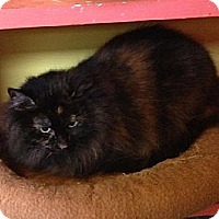 Domestic Shorthair Cat for adoption in Jacksonville, Florida - Princess 0500