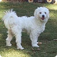 Adopt A Pet :: Maci - Lexington, TN