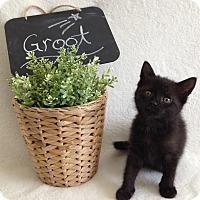 Adopt A Pet :: Groot - Coral Springs, FL