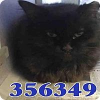 Adopt A Pet :: A356349 - San Antonio, TX