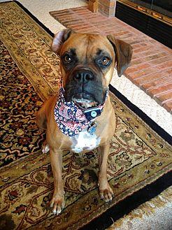 Boxer Dog for adoption in Austin, Texas - Korea