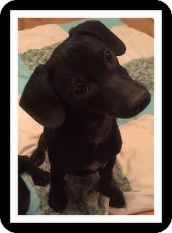 Dachshund/Chihuahua Mix Puppy for adoption in Winchester, California - HANK