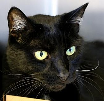 Domestic Shorthair Cat for adoption in Roseville, California - Harry