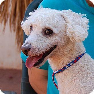 Miniature Poodle Mix Dog for adoption in Las Vegas, Nevada - Pepe