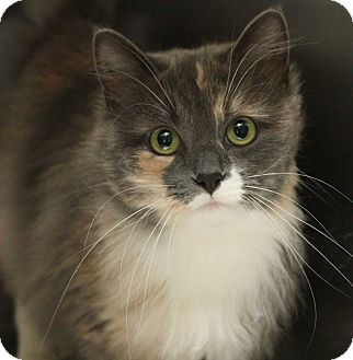 Domestic Shorthair Cat for adoption in Fort Madison, Iowa - Ming